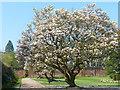 ST2885 : Magnolias, Tredegar House gardens, Newport by Robin Drayton