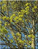 SX9065 : Maple, Cricketfield Road, Torre by Derek Harper