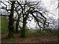 SD6709 : Gnarled beech trees by Philip Platt