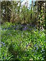 TQ7107 : Bluebells is Gillham Woods Nature Reserve by PAUL FARMER