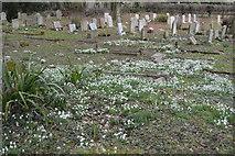 TR2157 : Snowdrops, Churchyard, Church of St Vincent by N Chadwick
