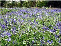 SP5606 : Bluebells in Shotover Country Park by Steve Daniels