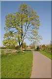 SO8453 : Tree beside Bromwich Parade by Philip Halling