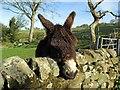NZ1266 : Donkey near Close Lea : Week 17