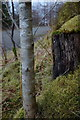SN9557 : Young tree, old stump and moss by Bwlchiliau forest track by Andrew Hill