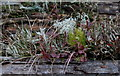 SN9557 : Moss, lichen, grass and bilberry on log by Andrew Hill