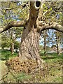 SO7744 : A sweet chestnut tree by Philip Halling