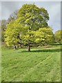 SO7744 : Springtime tree in the grounds of Malvern College by Philip Halling