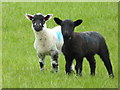 SO4083 : Twin lambs : Week 18