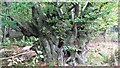 TQ8020 : Ancient coppiced hornbeam, Brede High Wood by Patrick Roper