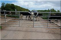 SX5547 : Near Stoke Cross: cattle crossing by Martin Bodman