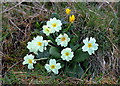 NX0577 : Primroses at Currarie Port by Walter Baxter