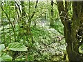 ST7556 : Norton St Philip, bluebell wood by Mike Faherty
