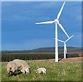NT8368 : Sheep near Drone Hill Wind Farm : Week 18
