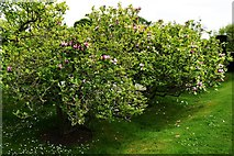 TQ5243 : Penshurst Place: The sunken Magnolia Garden by Michael Garlick