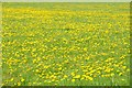 SP0505 : Dandelions in flower by Philip Halling