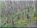 NS3595 : Woodland by Loch Lomond by M J Richardson