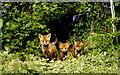 ST8281 : Fox-Cubs, Alderton Grove, nr Alderton, Wiltshire 1994 by Ray Bird