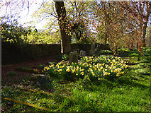 SD9772 : St Mary's church Kettlewell - daffodils by Stephen Craven