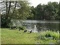 SJ8639 : Black Swans by Trentham Lake by Jonathan Hutchins