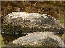 SD9771 : Common Sandpiper on a rock in the Wharfe near Kettlewell by Stephen Craven