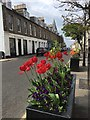 NT5585 : Colourful Tulips in North Berwick : Week 20