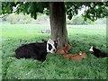 SE8165 : Cow  and  calves  at  Birdsall by Martin Dawes