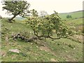 SJ9777 : Natural waymarkers by Antony Dixon