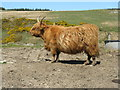 NR2458 : Highland cow near Port Charlotte by M J Richardson