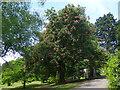 ST3087 : Sweet chestnut in blossom, Belle Vue Park, Newport by Robin Drayton