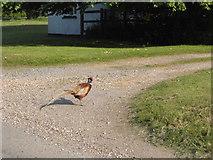 TL3033 : Pheasant in Roe Green by David Howard