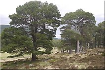 NO2090 : Scattered pines, Ballochbuie Forest by Richard Webb