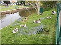 SX9676 : Ducks at Rest! - off Brunswick Place by Betty Longbottom