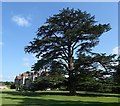 SU9747 : Loseley House - Cedar of Lebanon by Rob Farrow