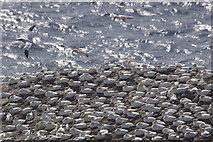 HP5917 : Gannets (Morus bassana), Clingra Stack, Hermaness by Mike Pennington