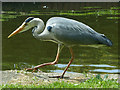 ST2788 : An obliging grey heron, Fourteen Locks, Newport by Robin Drayton