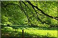SX4867 : Trees near Buckland Abbey by Derek Harper