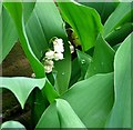TG2308 : Lily of the valley (Convallaria majalis) by Evelyn Simak