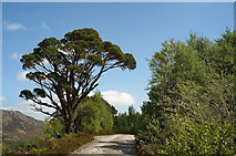 NH1621 : Scots Pine beside the Affric Kintail Way by Julian Paren