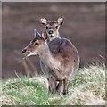 NH6328 : Sika Deer by valenta
