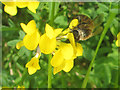 SP9314 : Horseshoe Vetch at College Lake by Chris Reynolds