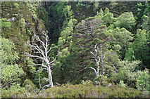 NG9964 : Generations of trees above Allt na h'Airighe by Julian Paren