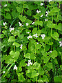 NY3658 : Hedge Mustard (Alliaria petiolata) by Anne Burgess