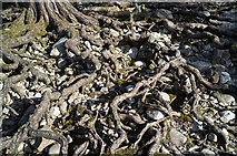 NH0065 : Exposed roots of Scots Pine, Loch Maree by Julian Paren