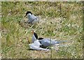 NU2327 : Arctic Terns by Russel Wills