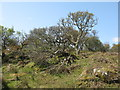 NR4652 : Oaks at Dùnan an t-Soluis by M J Richardson