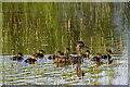 HP6008 : Female Mallard with ducklings, Trolla Water, Baltasound : Week 22