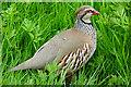 SO8660 : Red-legged Partridge (Alectoris rufa) by Anne Burgess
