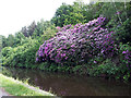 SE2734 : Rhododendron on the canal bank by Stephen Craven