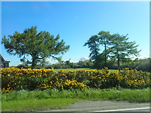 J3633 : Conifers near the junction of the A50 and the B180 by Eric Jones
